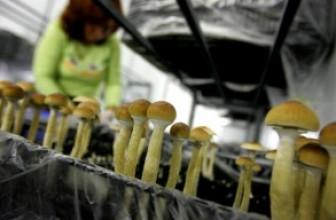 Искусственно выращенные грибы:  лесные условия у вас дома.